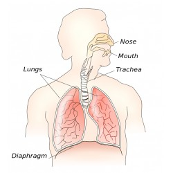 The respiratory system. Credit: Theresa Knott
