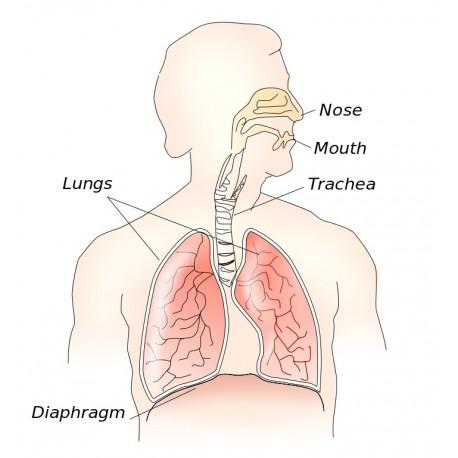 The respiratory system. Credit: Theresa Knott