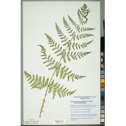 Dried pressed specimen of Dryopteris dilatata.  Photo Credit: Neuchâtel Herbarium project.