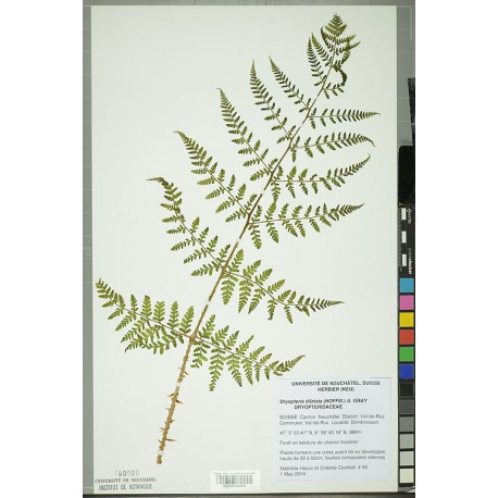 Dried pressed specimen of Dryopteris dilatata. Credit: Neuchâtel Herbarium project.