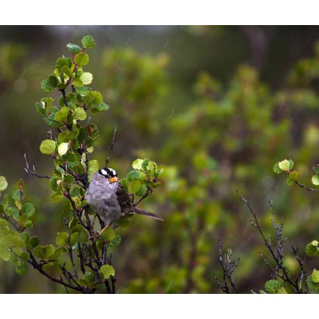White-crowned sparrow. Credit: National Park Service / Tim Rains