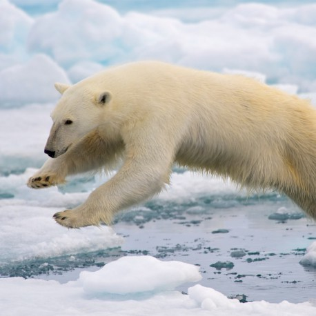 Polar Bears Go With the Floes